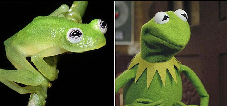 Kosta Rika da kermite benzeyen bir kurbağa bulundu