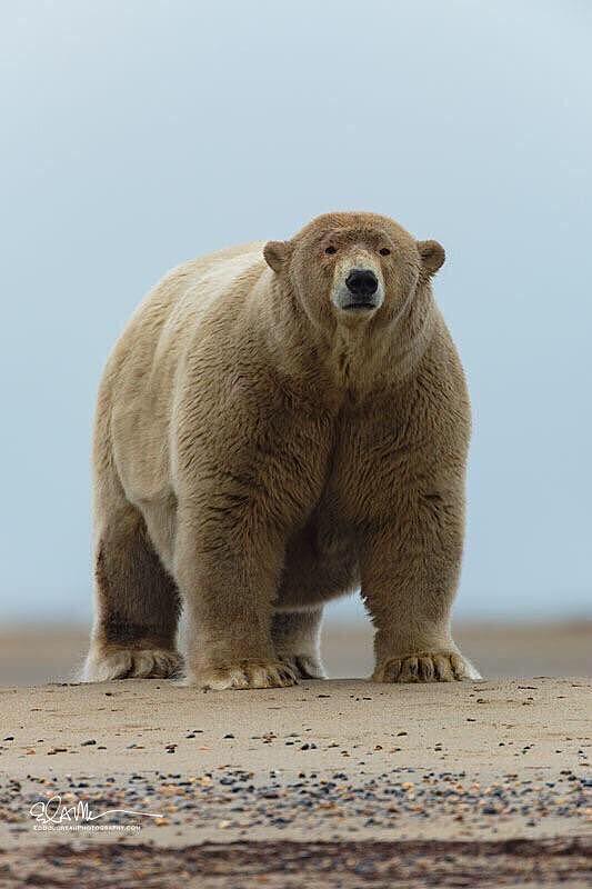 Grolar ayısı